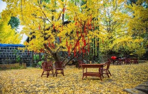 云南腾冲银杏村万博体育manbetx最佳时间,几月份去是最合适的季节
